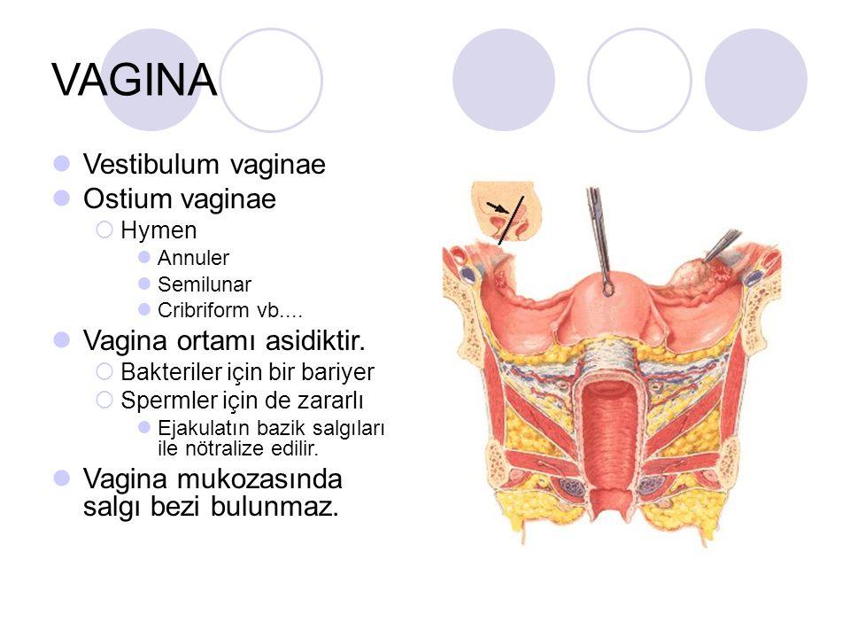 VAGINA Vestibulum vaginae Ostium vaginae  Hymen Annuler Semilunar Cribriform vb.... Vagina ortamı asidiktir.  Bakteriler için bir bariyer  Spermler