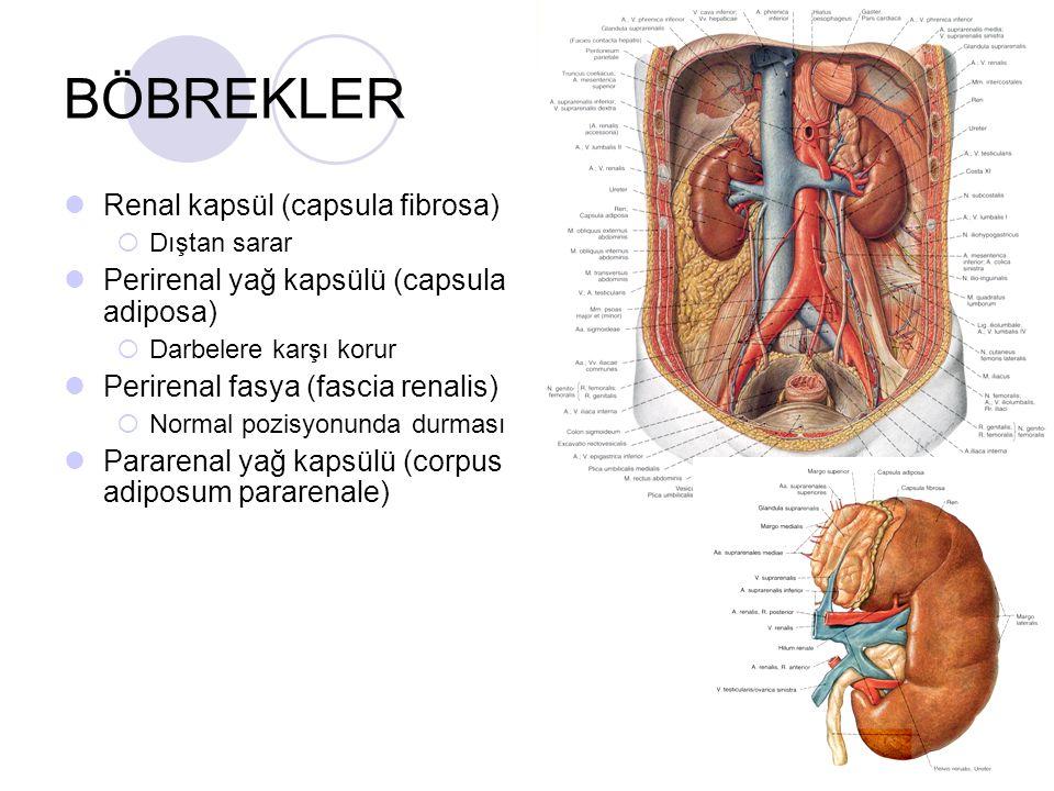 BÖBREKLER Renal kapsül (capsula fibrosa)  Dıştan sarar Perirenal yağ kapsülü (capsula adiposa)  Darbelere karşı korur Perirenal fasya (fascia renali