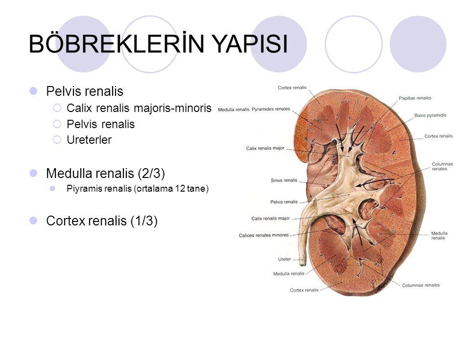 BÖBREKLERİN YAPISI Pelvis renalis  Calix renalis majoris-minoris  Pelvis renalis  Ureterler Medulla renalis (2/3) Piyramis renalis (ortalama 12 tan
