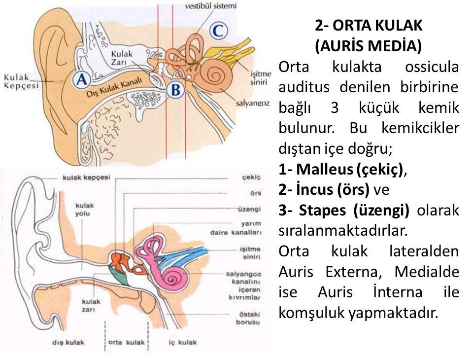 2- ORTA KULAK (AURİS MEDİA) Orta kulakta ossicula auditus denilen birbirine bağlı 3 küçük kemik bulunur. Bu kemikcikler dıştan içe doğru; 1- Malleus (