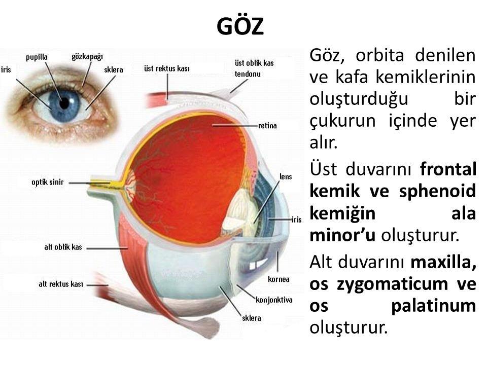 GÖZ Göz, orbita denilen ve kafa kemiklerinin oluşturduğu bir çukurun içinde yer alır. Üst duvarını frontal kemik ve sphenoid kemiğin ala minor'u oluşt