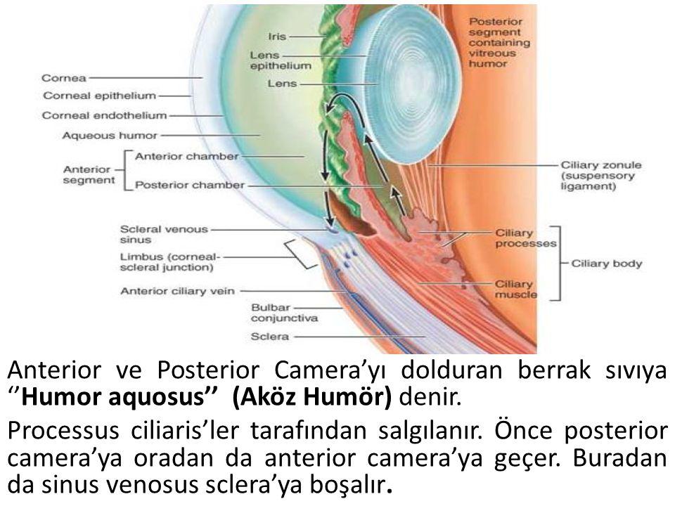 Anterior ve Posterior Camera'yı dolduran berrak sıvıya ''Humor aquosus'' (Aköz Humör) denir. Processus ciliaris'ler tarafından salgılanır. Önce poster