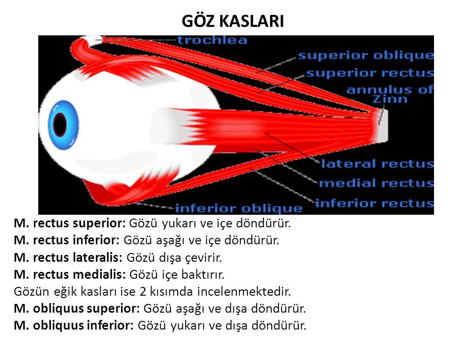 GÖZ KASLARI M. rectus superior: Gözü yukarı ve içe döndürür. M. rectus inferior: Gözü aşağı ve içe döndürür. M. rectus lateralis: Gözü dışa çevirir. M