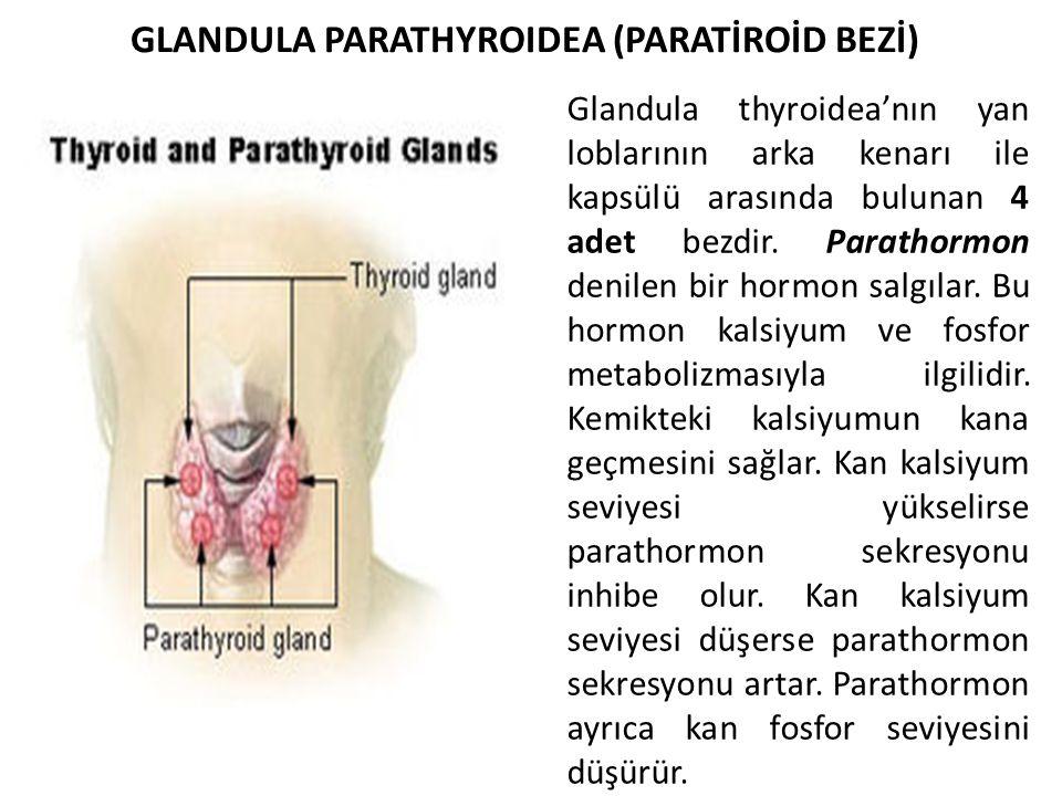 Glandula thyroidea'nın yan loblarının arka kenarı ile kapsülü arasında bulunan 4 adet bezdir. Parathormon denilen bir hormon salgılar. Bu hormon kalsi