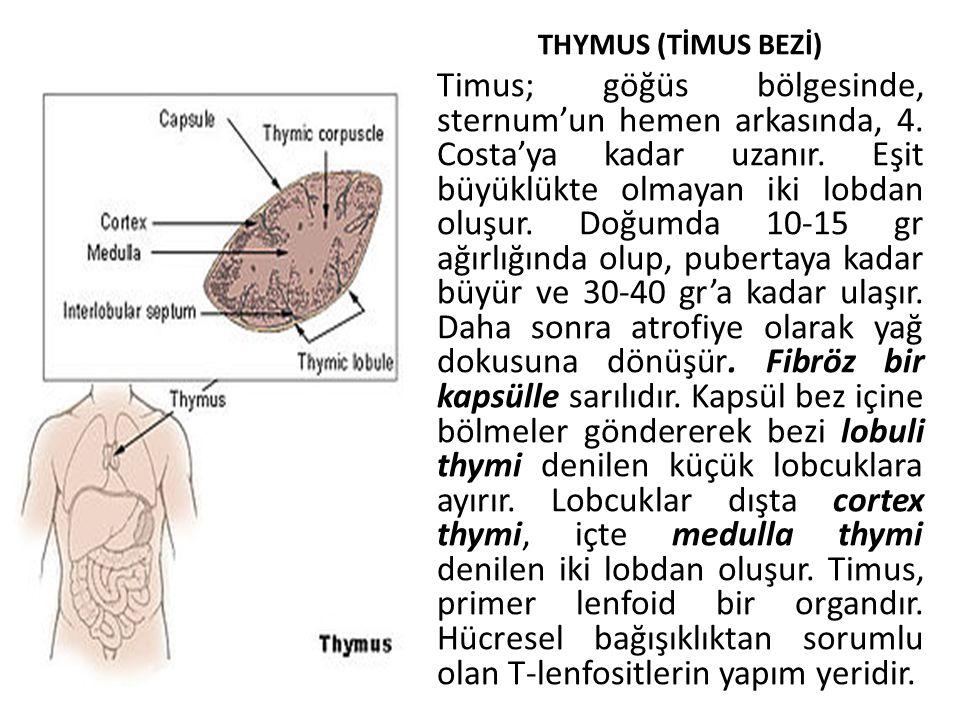 THYMUS (TİMUS BEZİ) Timus; göğüs bölgesinde, sternum'un hemen arkasında, 4. Costa'ya kadar uzanır. Eşit büyüklükte olmayan iki lobdan oluşur. Doğumda