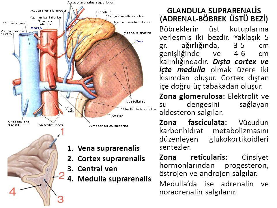 GLANDULA SUPRARENALİS (ADRENAL-BÖBREK ÜSTÜ BEZİ) Böbreklerin üst kutuplarına yerleşmiş iki bezdir. Yaklaşık 5 gr. ağırlığında, 3-5 cm genişliğinde ve