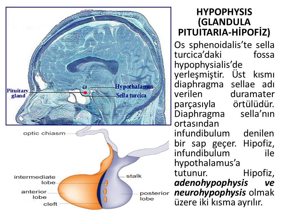 HYPOPHYSIS (GLANDULA PITUITARIA-HİPOFİZ) Os sphenoidalis'te sella turcica'daki fossa hypophysialis'de yerleşmiştir. Üst kısmı diaphragma sellae adı ve