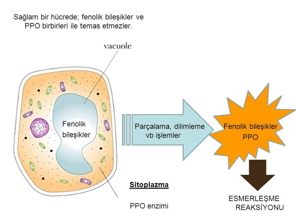 Fenolik bileşikler Sitoplazma PPO enzimi Sağlam bir hücrede; fenolik bileşikler ve PPO birbirleri ile temas etmezler. Parçalama, dilimleme vb işlemler