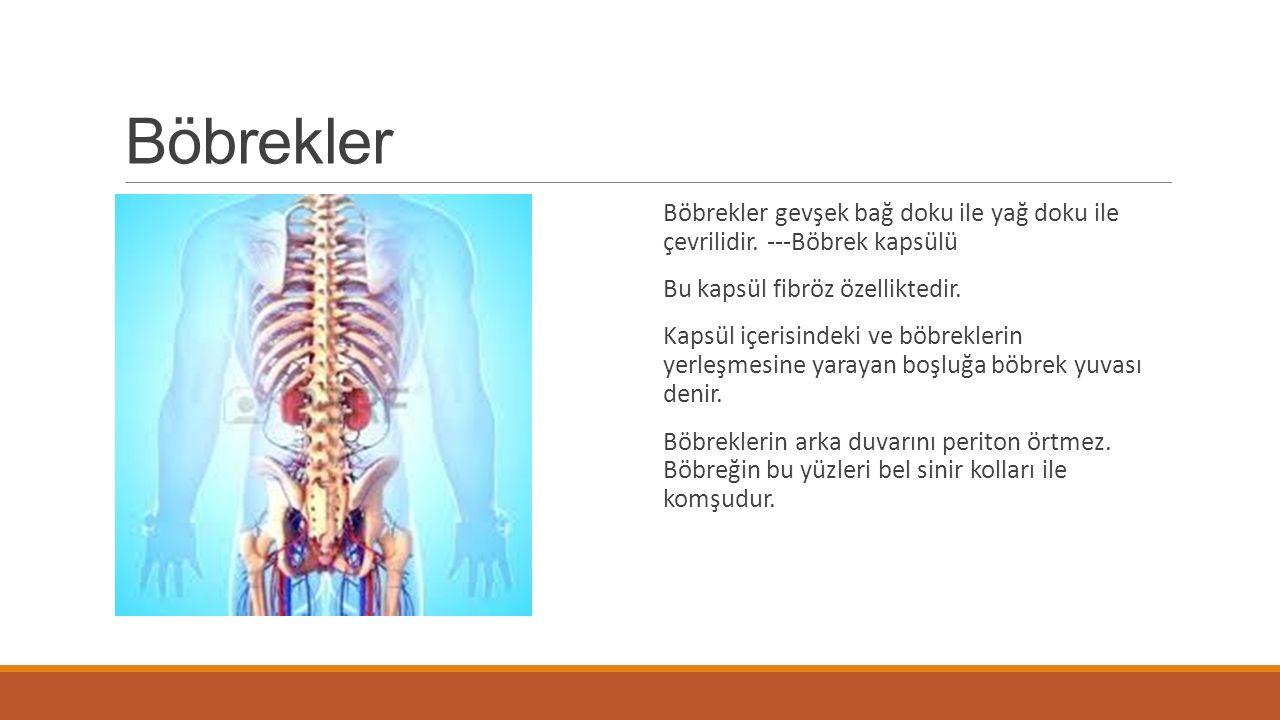 Böbrekler Böbrekler gevşek bağ doku ile yağ doku ile çevrilidir. ---Böbrek kapsülü Bu kapsül fibröz özelliktedir. Kapsül içerisindeki ve böbreklerin y