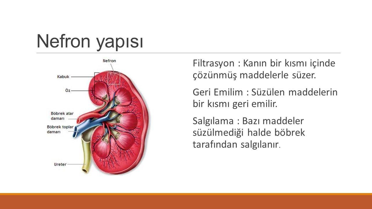 Nefron yapısı -Malpighi cismi ( Glomerulus ve bowman kapsülü ) b-Proksimal kıvrım c-Henle kulpu d-Distal kıvrım e-İdrar toplama kanalları
