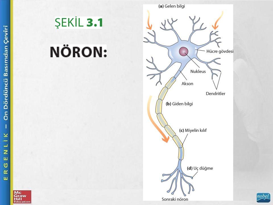 Beyin Nöronlar Nöronun akson kısmının bir yağ hücresi tabakası ile kaplanması ve yalıtılması süreci olan miyelinizasyon, sinir sisteminde bilgiyi işleme hızını ve verimini artırır.
