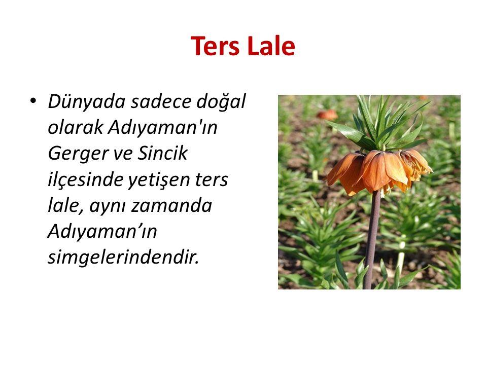 Ters Lale Dünyada sadece doğal olarak Adıyaman'ın Gerger ve Sincik ilçesinde yetişen ters lale, aynı zamanda Adıyaman'ın simgelerindendir.