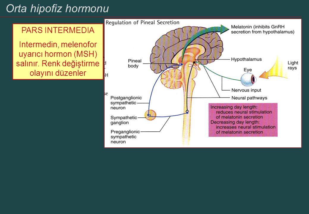 Orta hipofiz hormonu PARS INTERMEDIA Intermedin, melenofor uyarıcı hormon (MSH) salınır. Renk değiştirme olayını düzenler