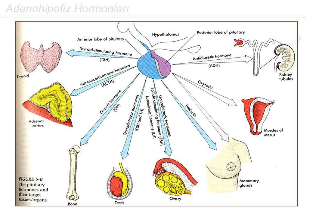Adenohipofiz Hormonları 1.Dokunun (bezin) vücuttan uzaklaştırılması, bir takım eksikliklere neden olmalıdır