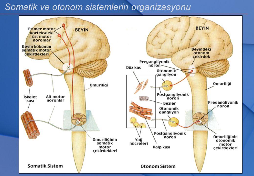 Somatik ve otonom sistemlerin organizasyonu
