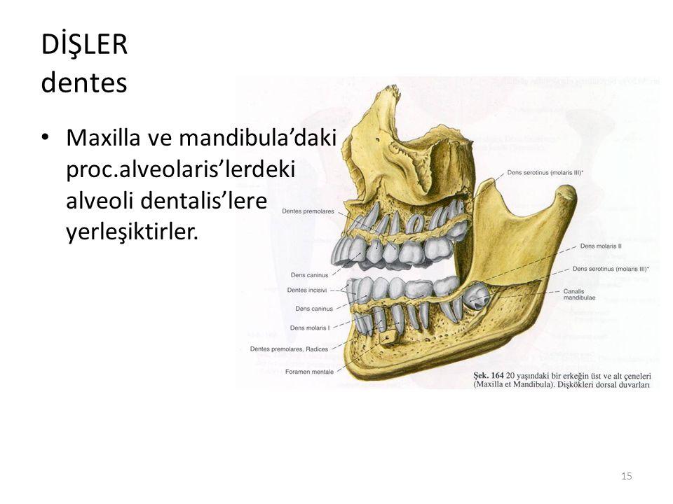 15 DİŞLER dentes Maxilla ve mandibula'daki proc.alveolaris'lerdeki alveoli dentalis'lere yerleşiktirler.