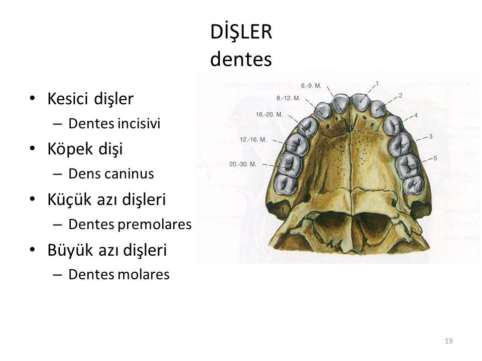 19 DİŞLER dentes Kesici dişler – Dentes incisivi Köpek dişi – Dens caninus Küçük azı dişleri – Dentes premolares Büyük azı dişleri – Dentes molares