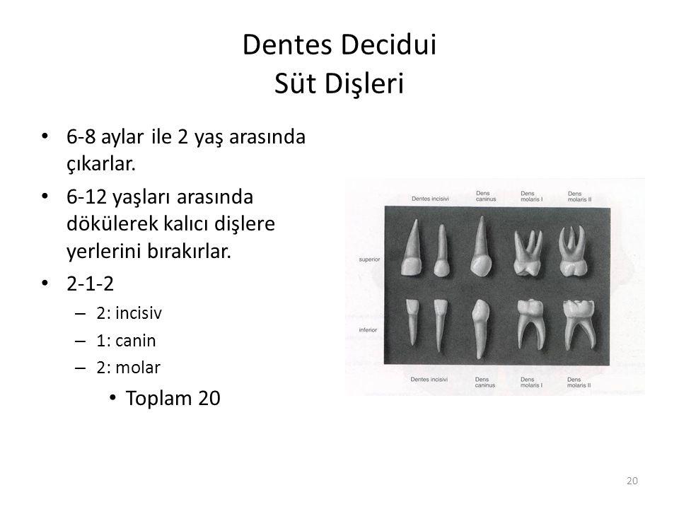 20 Dentes Decidui Süt Dişleri 6-8 aylar ile 2 yaş arasında çıkarlar.