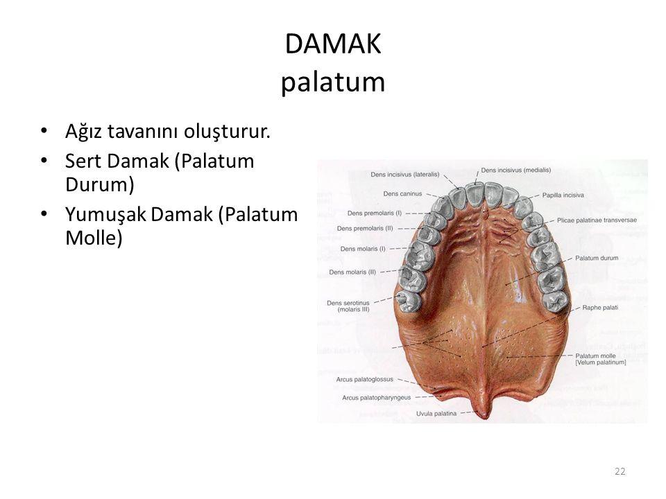22 DAMAK palatum Ağız tavanını oluşturur. Sert Damak (Palatum Durum) Yumuşak Damak (Palatum Molle)