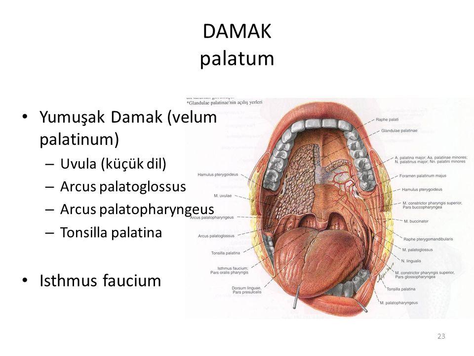 23 DAMAK palatum Yumuşak Damak (velum palatinum) – Uvula (küçük dil) – Arcus palatoglossus – Arcus palatopharyngeus – Tonsilla palatina Isthmus faucium