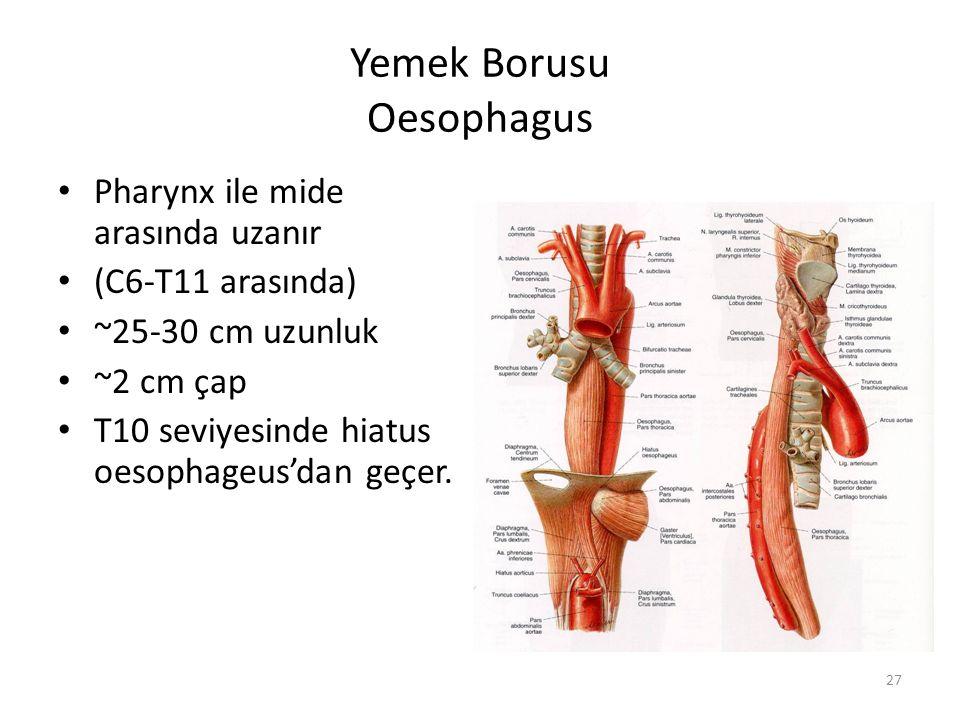 27 Yemek Borusu Oesophagus Pharynx ile mide arasında uzanır (C6-T11 arasında) ~25-30 cm uzunluk ~2 cm çap T10 seviyesinde hiatus oesophageus'dan geçer.