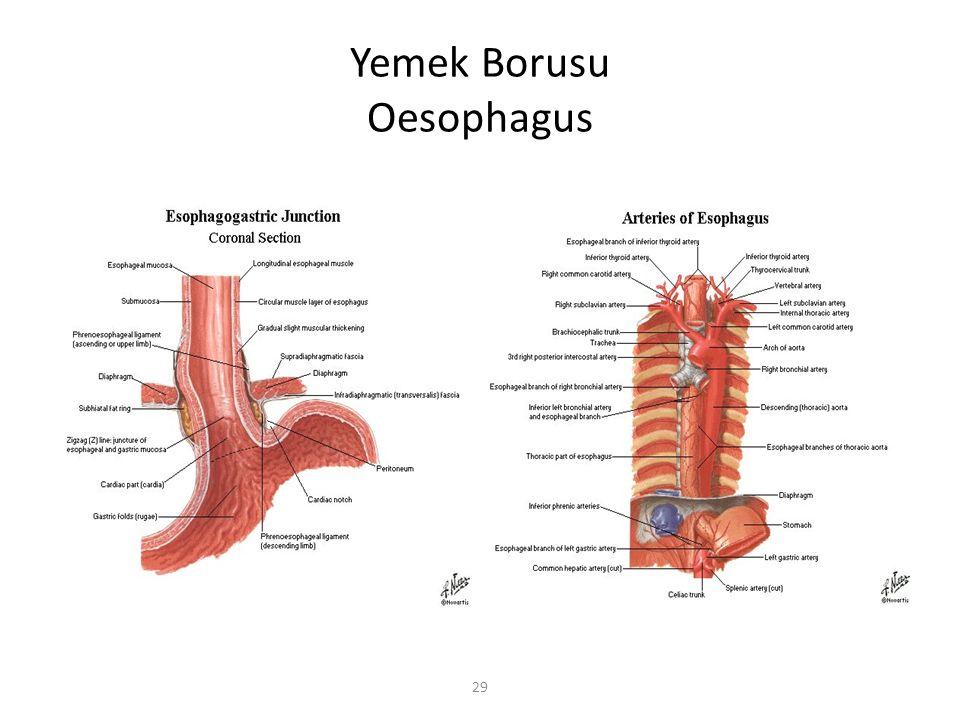 29 Yemek Borusu Oesophagus