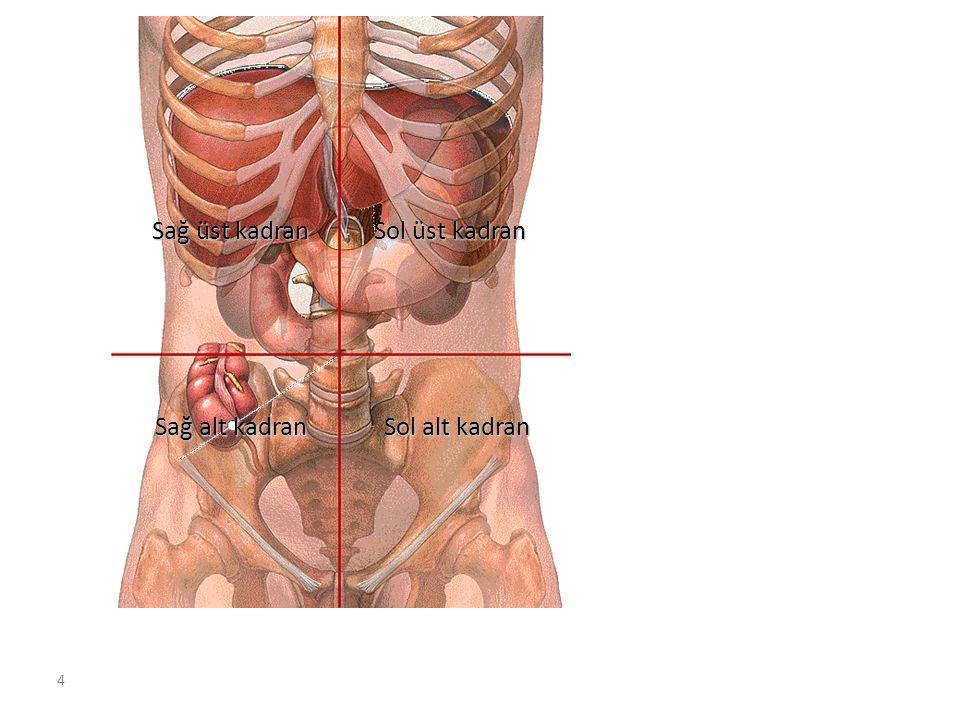55 Canalis Analis Anüsle sonlanır Anüsle sonlanır Sadece defekasyon sırasında açılır Sadece defekasyon sırasında açılır M.sphincter ani internus (istemsiz) M.sphincter ani internus (istemsiz) M.sphincter ani externus (istemli) M.sphincter ani externus (istemli)