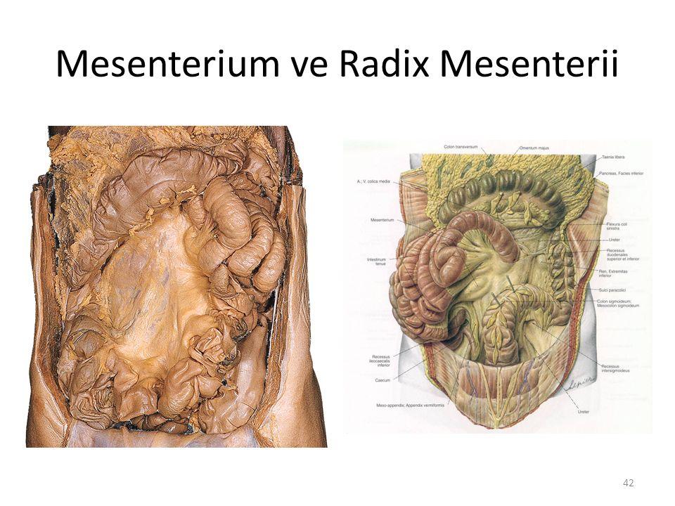 42 Mesenterium ve Radix Mesenterii