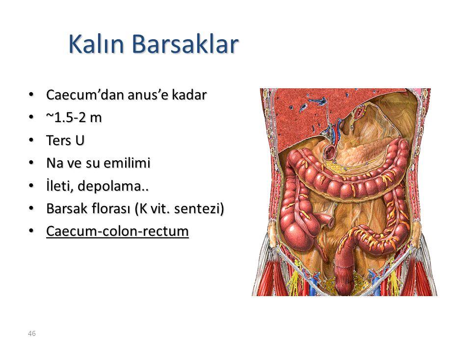 46 Kalın Barsaklar Caecum'dan anus'e kadar Caecum'dan anus'e kadar ~1.5-2 m ~1.5-2 m Ters U Ters U Na ve su emilimi Na ve su emilimi İleti, depolama..