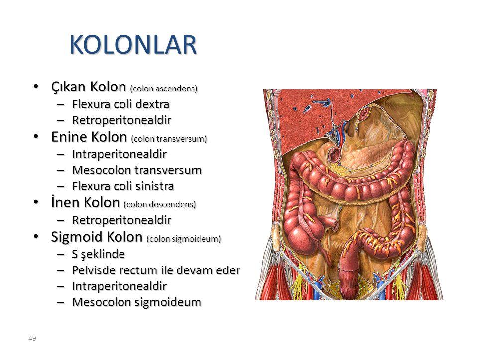 49 KOLONLAR Çıkan Kolon (colon ascendens) Çıkan Kolon (colon ascendens) – Flexura coli dextra – Retroperitonealdir Enine Kolon (colon transversum) Enine Kolon (colon transversum) – Intraperitonealdir – Mesocolon transversum – Flexura coli sinistra İnen Kolon (colon descendens) İnen Kolon (colon descendens) – Retroperitonealdir Sigmoid Kolon (colon sigmoideum) Sigmoid Kolon (colon sigmoideum) – S şeklinde – Pelvisde rectum ile devam eder – Intraperitonealdir – Mesocolon sigmoideum
