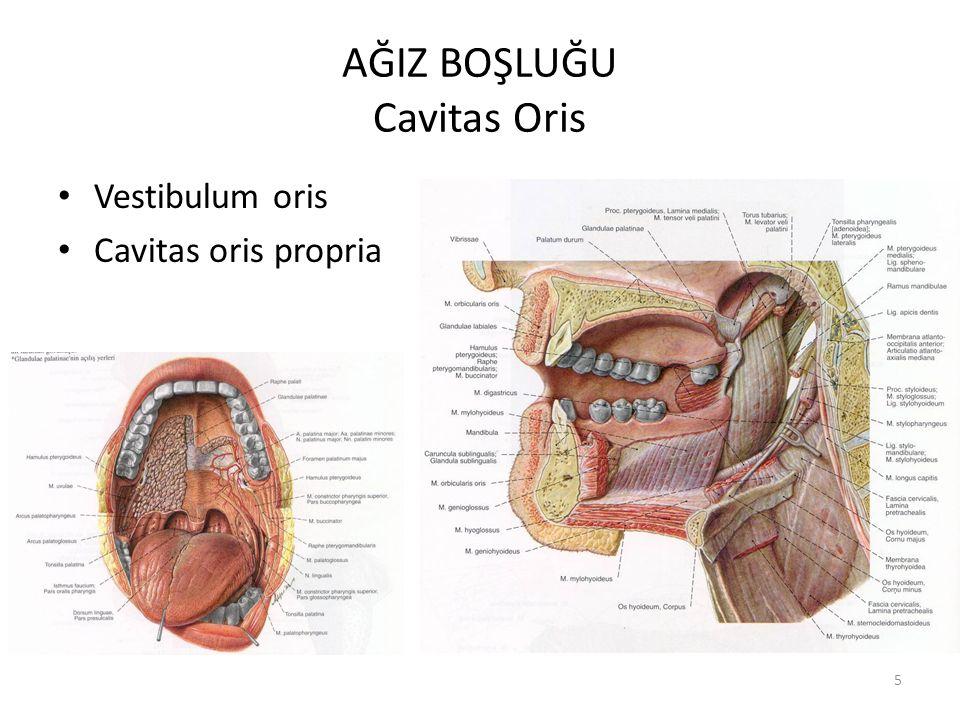 6 Vestibulum Oris Dudaklar, yanaklar, diş ve dişetleri (gingivae) ile sınırlanmış dar bir alandır.