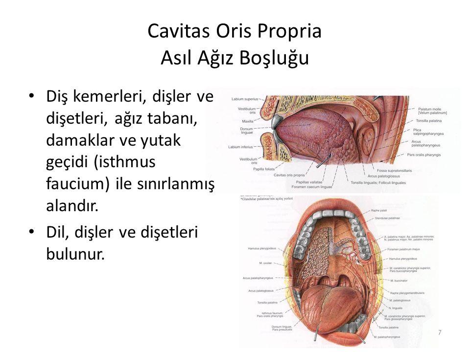 7 Cavitas Oris Propria Asıl Ağız Boşluğu Diş kemerleri, dişler ve dişetleri, ağız tabanı, damaklar ve yutak geçidi (isthmus faucium) ile sınırlanmış alandır.
