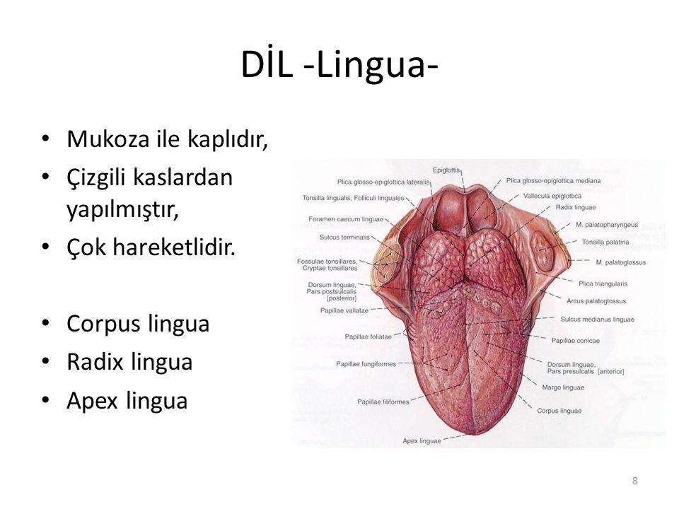 8 DİL -Lingua- Mukoza ile kaplıdır, Çizgili kaslardan yapılmıştır, Çok hareketlidir.