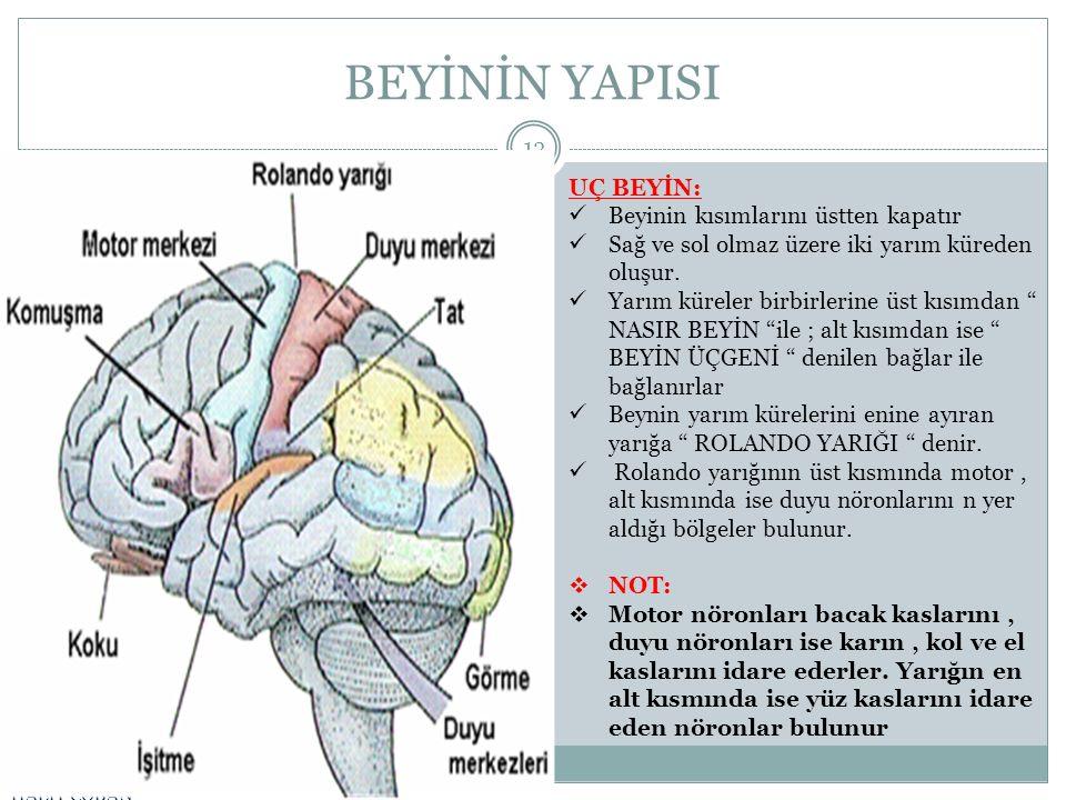 BEYİNİN YAPISI HALİT ÇOBAN 13 UÇ BEYİN: Beyinin kısımlarını üstten kapatır Sağ ve sol olmaz üzere iki yarım küreden oluşur. Yarım küreler birbirlerine