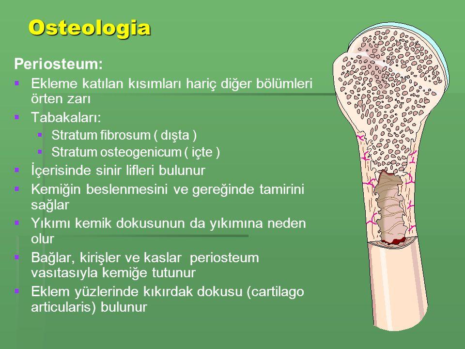 Osteologia Periosteum:   Ekleme katılan kısımları hariç diğer bölümleri örten zarı   Tabakaları:   Stratum fibrosum ( dışta )   Stratum osteogenicum ( içte )   İçerisinde sinir lifleri bulunur   Kemiğin beslenmesini ve gereğinde tamirini sağlar   Yıkımı kemik dokusunun da yıkımına neden olur   Bağlar, kirişler ve kaslar periosteum vasıtasıyla kemiğe tutunur   Eklem yüzlerinde kıkırdak dokusu (cartilago articularis) bulunur