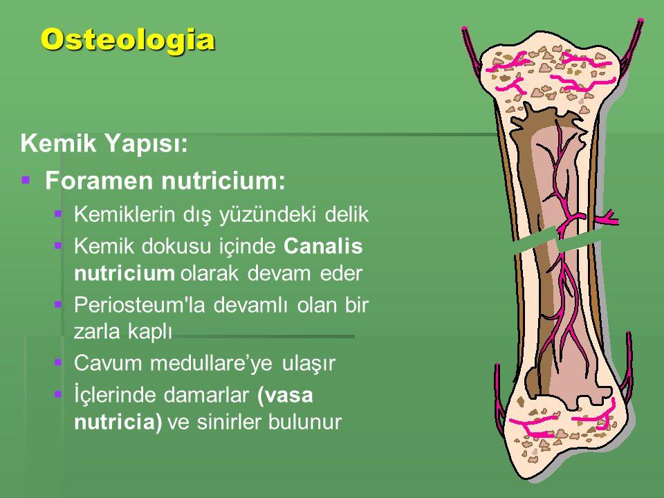Osteologia Kemik Yapısı:   Foramen nutricium:   Kemiklerin dış yüzündeki delik   Kemik dokusu içinde Canalis nutricium olarak devam eder   Periosteum la devamlı olan bir zarla kaplı   Cavum medullare'ye ulaşır   İçlerinde damarlar (vasa nutricia) ve sinirler bulunur