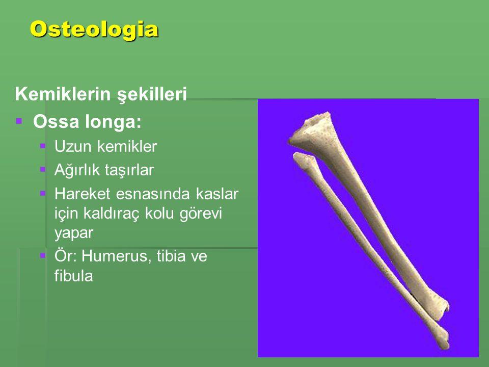 Osteologia Kemiklerin şekilleri   Ossa longa:   Uzun kemikler   Ağırlık taşırlar   Hareket esnasında kaslar için kaldıraç kolu görevi yapar   Ör: Humerus, tibia ve fibula