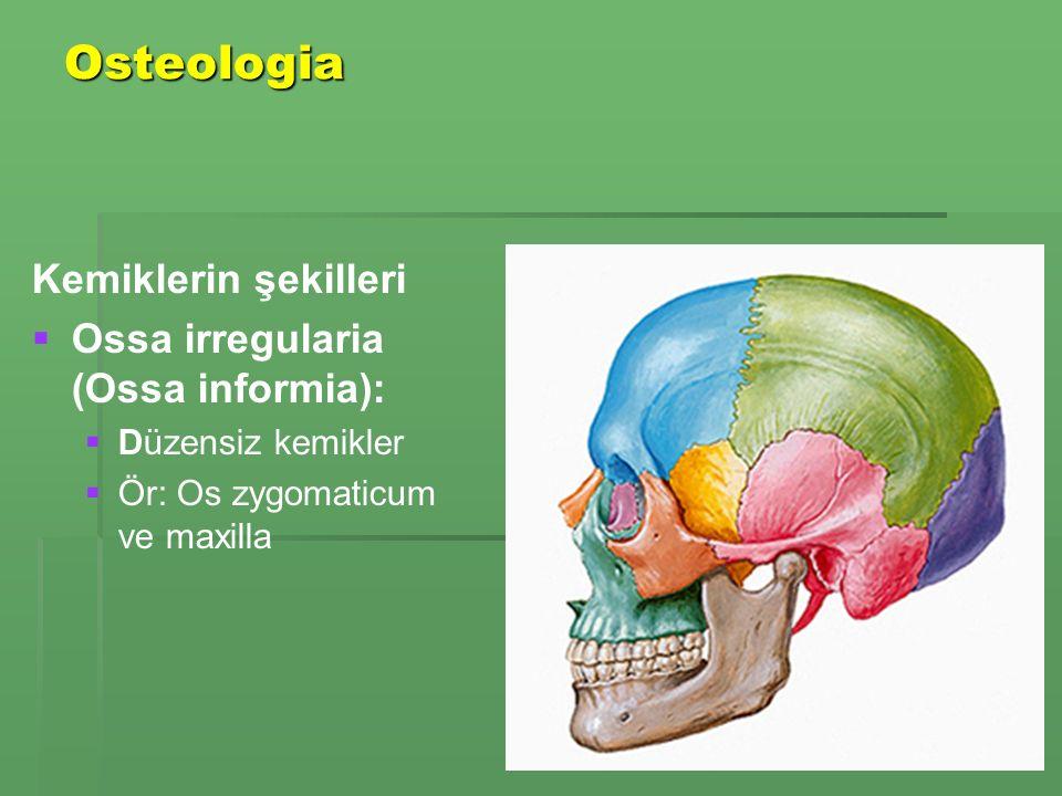 Osteologia Kemiklerin şekilleri   Ossa irregularia (Ossa informia):   Düzensiz kemikler   Ör: Os zygomaticum ve maxilla