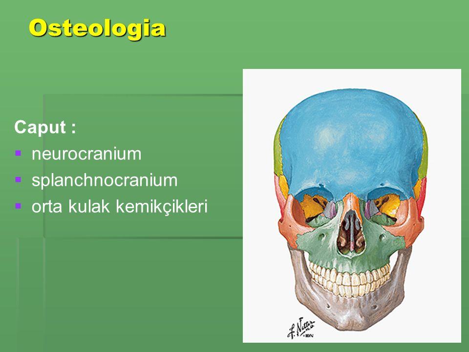 Osteologia Caput :   neurocranium   splanchnocranium   orta kulak kemikçikleri