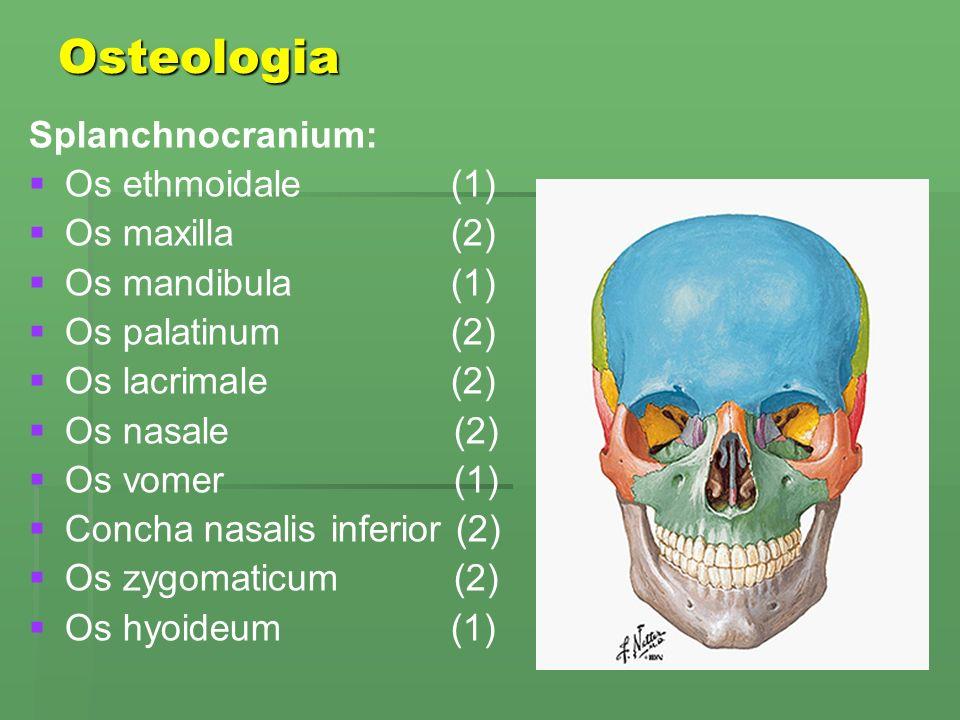 Osteologia Splanchnocranium:   Os ethmoidale (1)   Os maxilla (2)   Os mandibula (1)   Os palatinum (2)   Os lacrimale (2)   Os nasale (2)   Os vomer (1)   Concha nasalis inferior (2)   Os zygomaticum (2)   Os hyoideum (1)