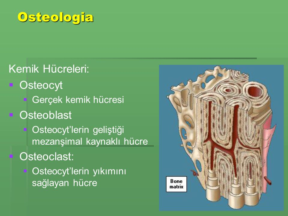 Osteologia Kemik Hücreleri:   Osteocyt   Gerçek kemik hücresi   Osteoblast   Osteocyt'lerin geliştiği mezanşimal kaynaklı hücre   Osteoclast:   Osteocyt'lerin yıkımını sağlayan hücre