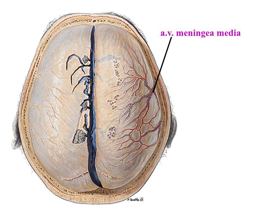 a.v. meningea media