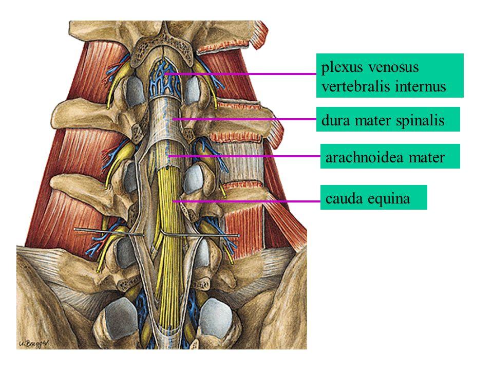 dura mater spinalis arachnoidea mater cauda equina plexus venosus vertebralis internus
