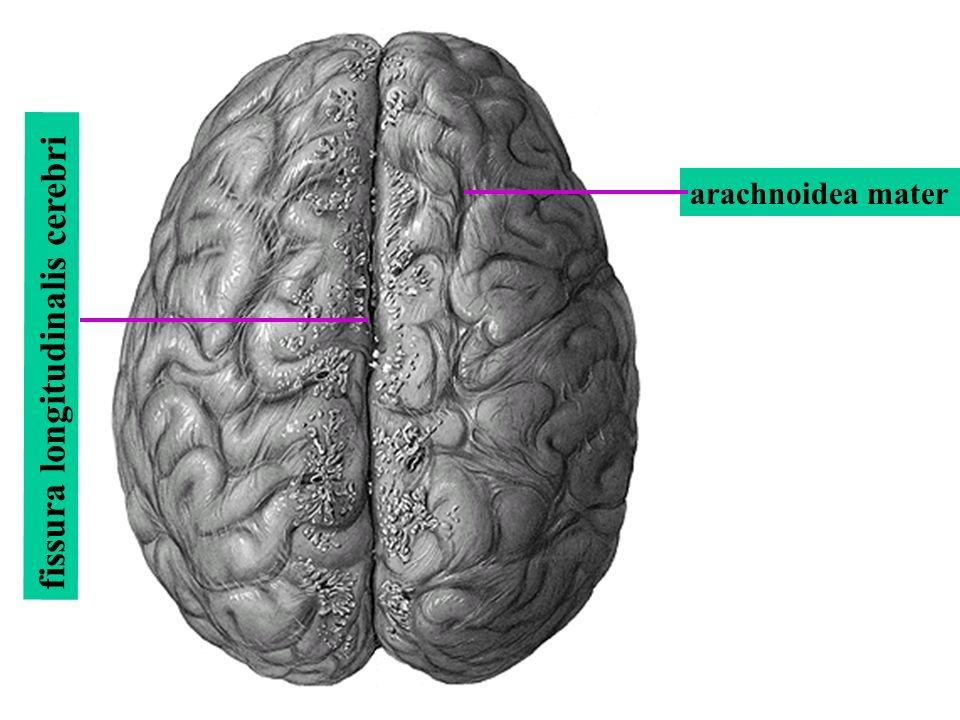 arachnoidea mater fissura longitudinalis cerebri