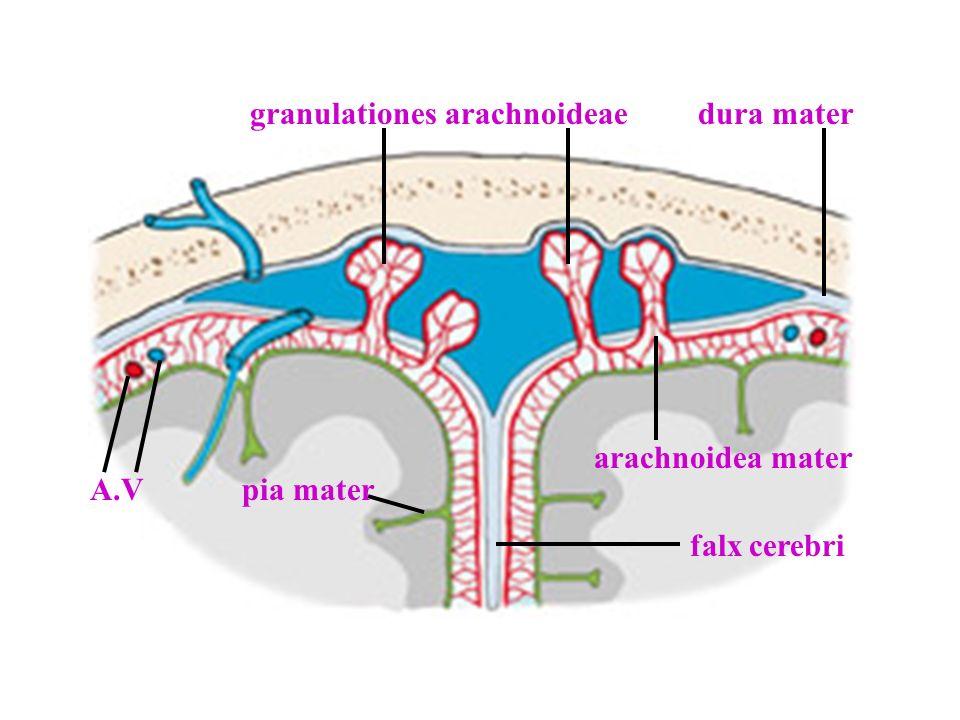 arachnoidea mater dura mater pia mater granulationes arachnoideae A.V falx cerebri