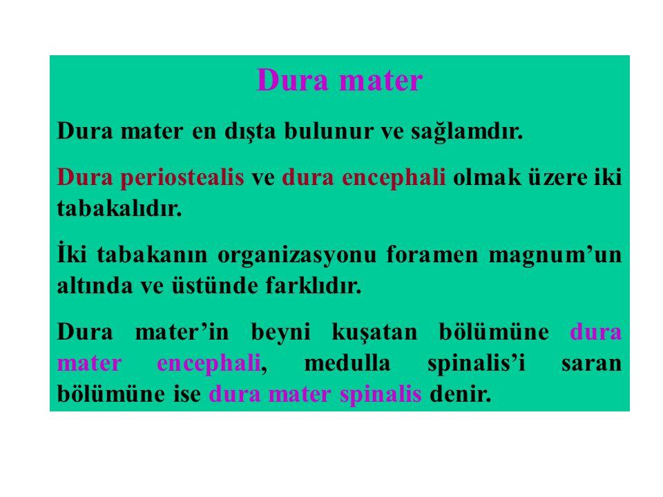 Dura mater Dura mater en dışta bulunur ve sağlamdır. Dura periostealis ve dura encephali olmak üzere iki tabakalıdır. İki tabakanın organizasyonu fora