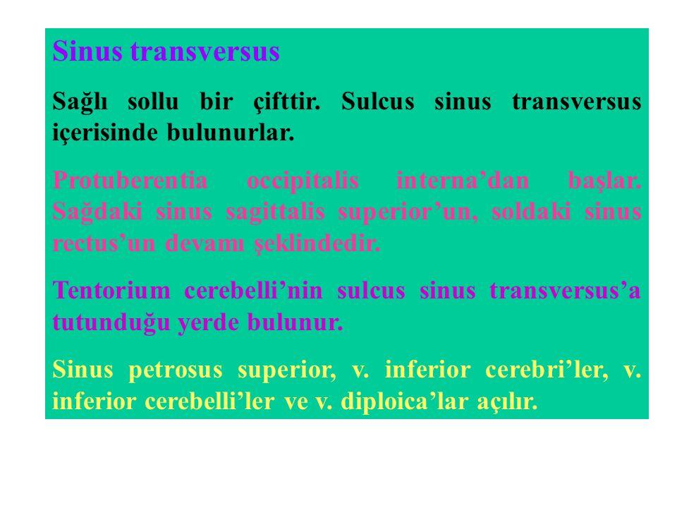 Sinus transversus Sağlı sollu bir çifttir.Sulcus sinus transversus içerisinde bulunurlar.