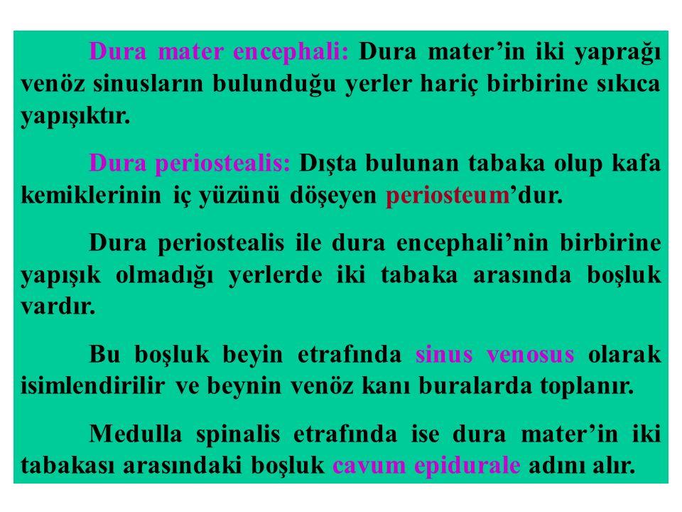 Dura mater encephali: Dura mater'in iki yaprağı venöz sinusların bulunduğu yerler hariç birbirine sıkıca yapışıktır.