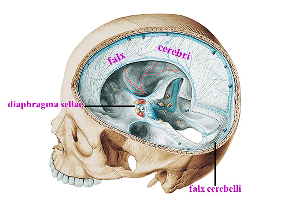 falx diaphragma sellae cerebri falx cerebelli