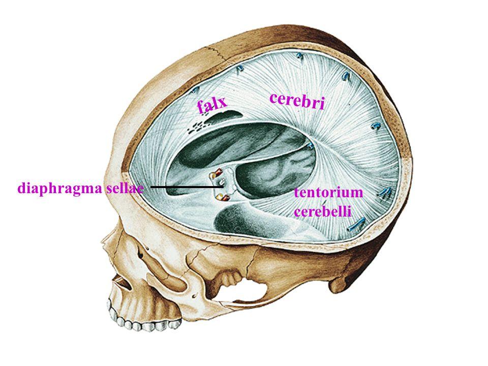 Sinus cavernosus'a v.ophtalmica superior, v. ophtalmica inferior, sinus sphenoparietalis ve v.